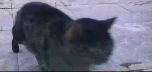 Cyperse kater gesignaleerd in Vredenhof